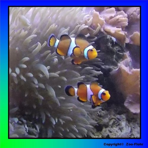 Amphiprion ocellaris - Falscher Clown – Anemonenfisch L-XL